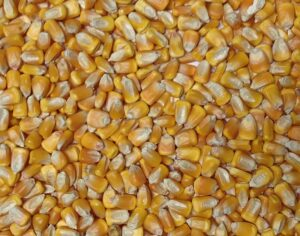 aps_corn_yellow_dent