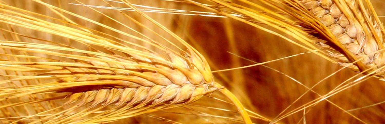 organic lentils product categories grain place foods